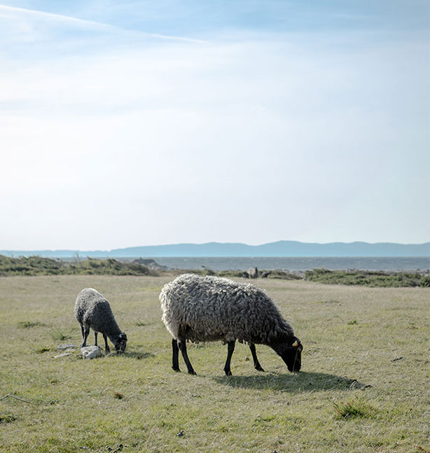 Betande får på strandäng